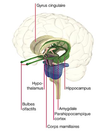 L'impact de l'EFT sur le cerveau émotionnel